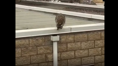 How He Do That Though? Raccoon Squeezes Down A Tiny Gutter!